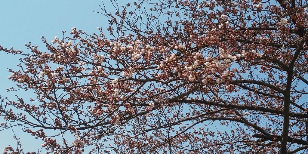 野沢温泉 清風館の桜