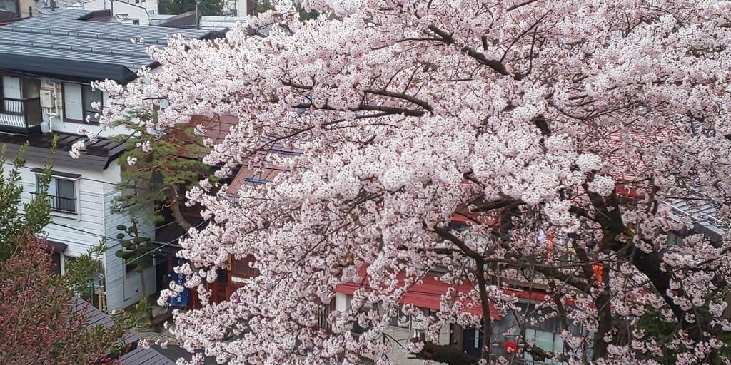 清風館の桜